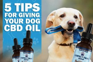 Tips for Giving Your Dog CBD Oil